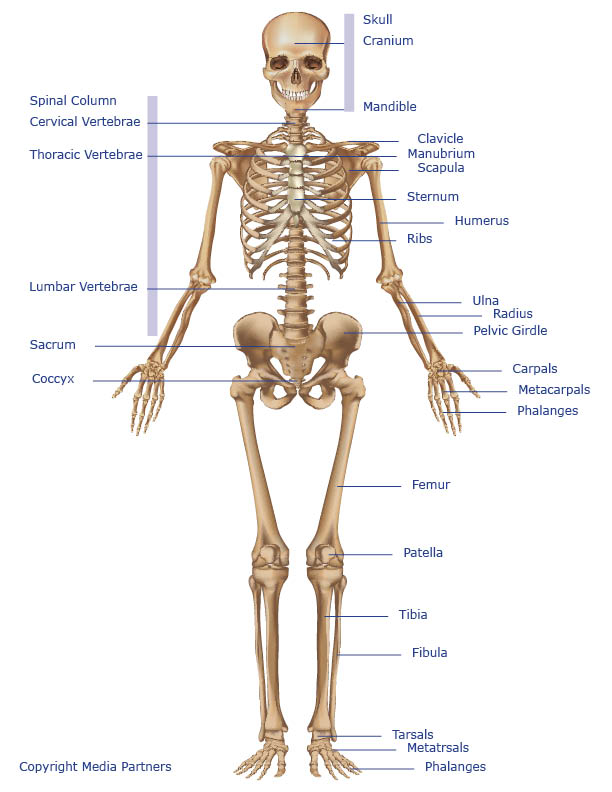 Skeletal System - Systems of the Body